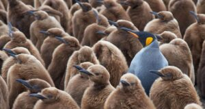King penguin in group of chicks
